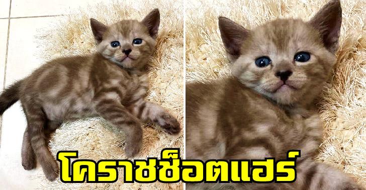 เผยโฉมแมว 'โคราชช็อตแฮร์' สีสวย น่ารัก ผสมผสานได้อย่างลงตัว