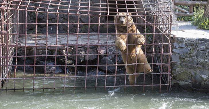 หมีสีน้ำตาลใช้ชีวิต 10 ปี ในกรงเหล็กแคบๆที่ถูกน้ำท่วม ก่อนกู้ภัยเข้าช่วยเหลือขณะตั้งท้อง