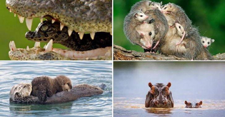 25 สัตว์โลกสุดยอดคุณแม่ ที่คอยดูแลลูกน้อยให้เติบโตอย่างแข็งแกร่ง