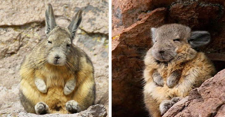 """รู้จัก """"วิคาชา"""" สัตว์บนเทือกเขาสูง ที่มีใบหน้าง่วงนอนตลอดเวลา"""