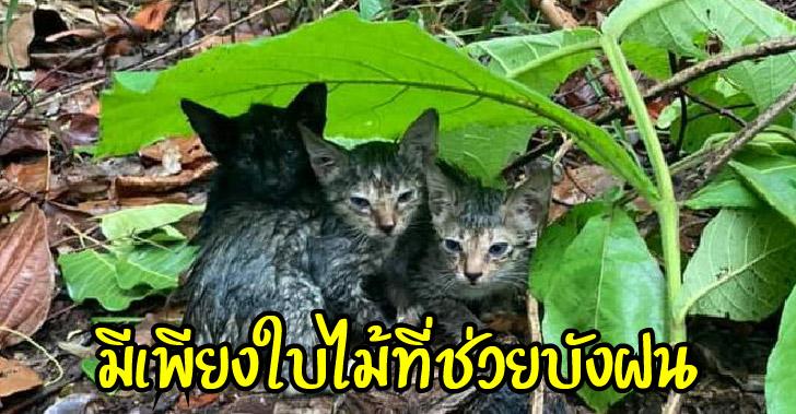 ลูกแมวสามพี่น้องใช้ใบไม้กำบังฝน เปียกปอนไม่เหลือใคร ด้วยความหวังรอคนที่รักจริง