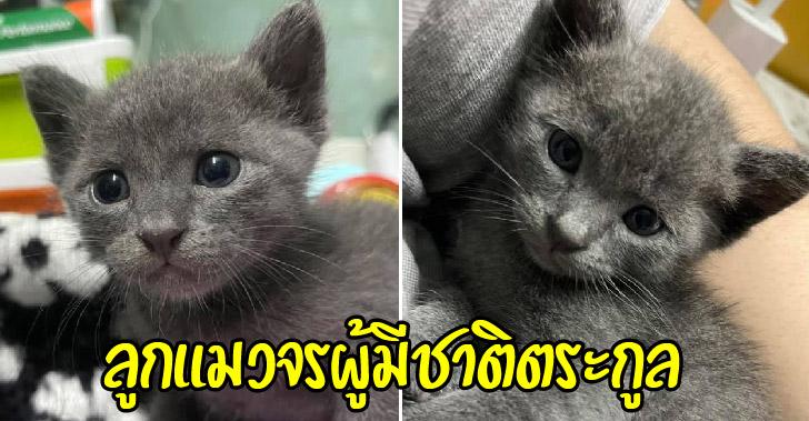 พบกับ 'กอลลั่ม' ลูกแมวจรที่ไปได้เสียกับแมวบ้าน แต่เจอกีดกันความรักจนต้องแยกจาก