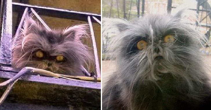 แมวเปอร์เซียถูกเจ้าของเก่าทิ้ง เพราะภาวะมนุษย์หมาป่า