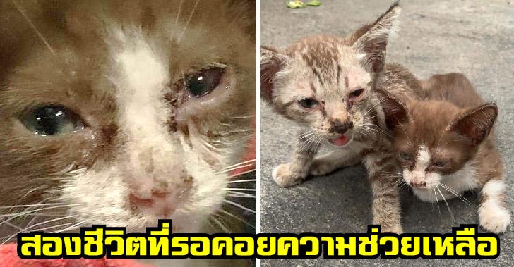 ลูกแมวจรสองพี่น้อง เคว้งคว้างกลางถนน ท่ามกลางกลุ่มหมาจรหลายตัว หวังให้มีคนใจดีรับไปเลี้ยง