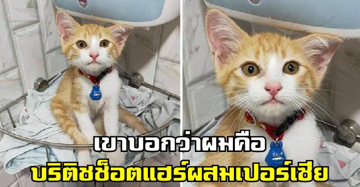 พ่อค้าบอกพันธุ์บริติชช็อตแฮร์ ผสมเปอร์เซีย ถามในกลุ่มทาสแมวได้คำตอบสุดเฮฮา