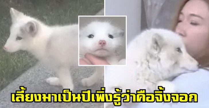 สาวคิดว่าเลี้ยง เจแปนนิส สปิตซ์ มานานนับปี ก่อนพบว่ามันคือสุนัขจิ้งจอกสีขาว