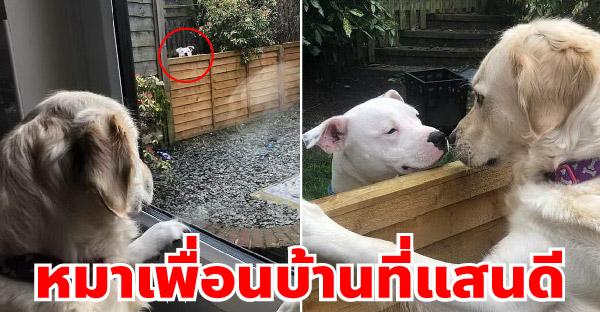 โกลเด้นที่เคยกลัวหมาใหญ่ กลับเปลี่ยนไปเมื่อได้เจอหมาข้างบ้านจอมตื้อ