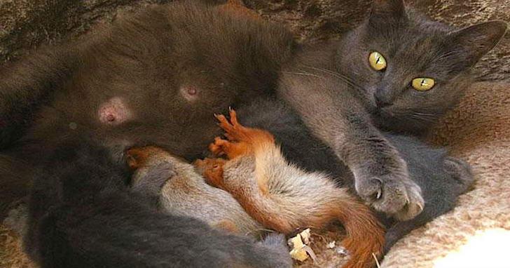 แม่แมวมือใหม่เลี้ยงกระรอกกำพร้า 4 ตัว เหมือนกับลูกแท้ ๆ ของตัวเอง