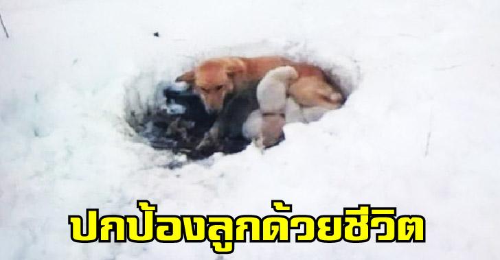 แม่หมาสุดกล้าหาญ ใช้อุ้งเท้าขุดหิมะอันหนาวเหน็บ เพื่อให้ลูกทั้ง 6 อบอุ่นและปลอดภัย