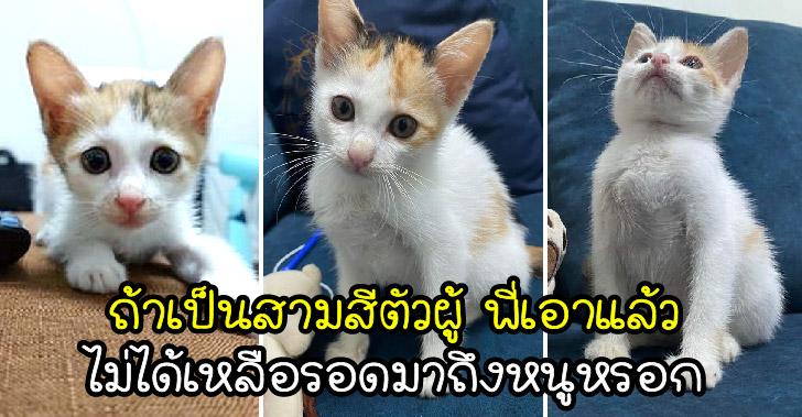 ป้าข้างบ้านยกลูกแมวสามสีให้เลี้ยง เพียงเพราะน้องเกิดมาเป็นตัวเมีย