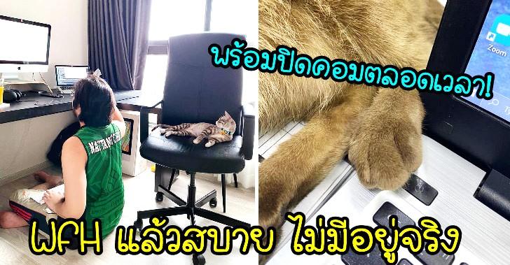 ทาสแมวยืนยัน WFH แล้วสบาย ไม่มีอยู่จริง เพราะเจอมากับตัวเอง!